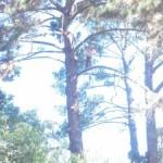 Palm Tree Trimming Menlo Park, Palo Alto Tree Service