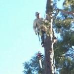 Palo Alto Tree Trimming, Palm Tree Trimming Menlo Park
