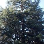 Tree Service In Palo Alto, Menlo Park Tree Services